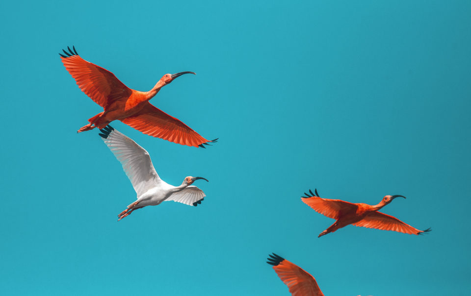 Scarlet Ibis - Birdwatching in Colombia