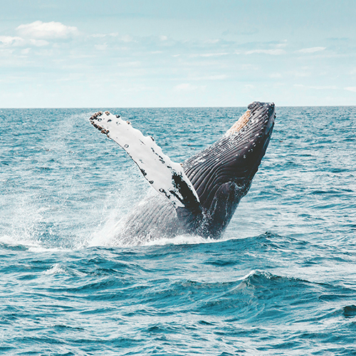 Humpback Whales in Pacific Coast, Colombia